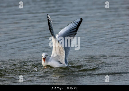 Seagulls diving into lake water for bread - Stock Image