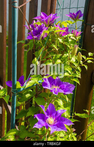 Flowers on a purple clematis plant in north east Italy - Stock Image