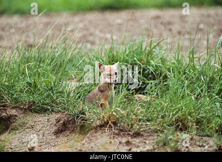 Indian Jackal, (Canis aureus indicus), cub near den, Blackbuck National Park, Velavadar, Gujarat, India - Stock Image