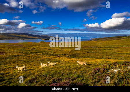 Landscape With Flock Of Sheep At The Coast Of Loch Eriboll Near Durness In Scotland - Stock Image