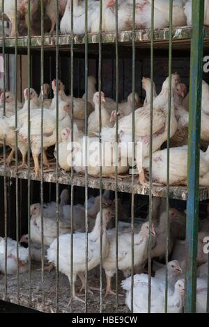 Live chickens on sale in Chitral bazaar - Stock Image