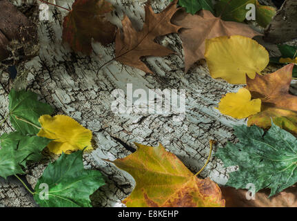 fall leaves on birch bark - Stock Image