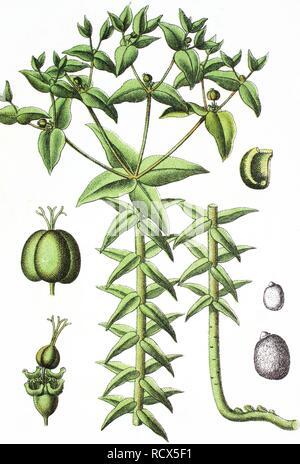 Caper Spurge or Paper Spurge (Euphorbia lathyris), medicinal and useful plant, chromolithograph, 1881, historical illustration - Stock Image