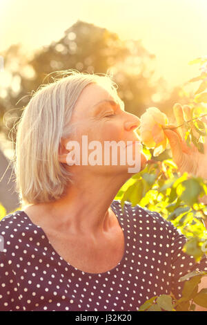 Woman with grey hair in her garden enjoying the scent of a rose flower on the glorious golden light of a warm and - Stock Image