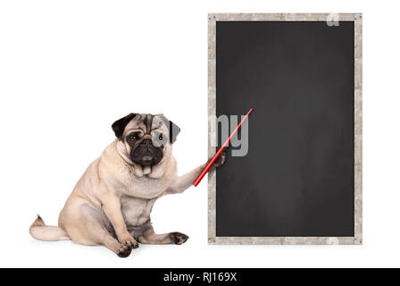 serious pug puppy dog sitting next to blank blackboard sign, holding red pointer, isolated on white background - Stock Image