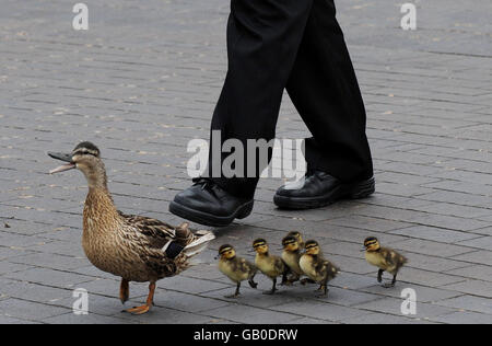 Duck and ducklings in Teeside - Stock Image