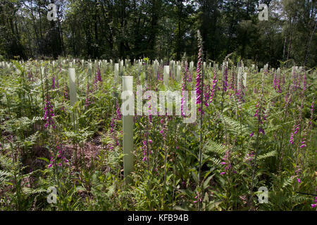 new oak planting in Tugley Wood forestry commission, Chiddingfold Forests, West Sussex - Stock Image