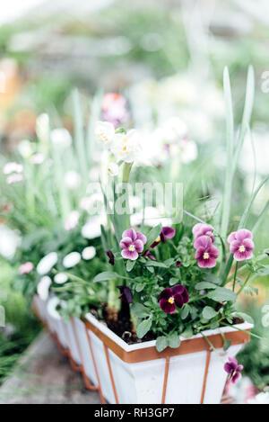 Pansies in pot - Stock Image