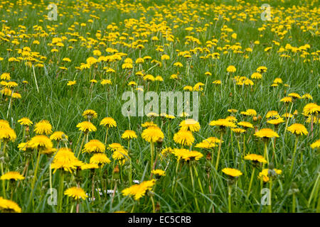 meadow with dandelion - Stock Image