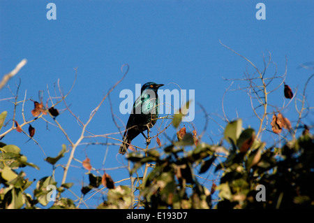 The Cape Starling, Red-shouldered Glossy-starling or Cape Glossy Starling (Lamprotornis nitens) South Africa - Stock Image