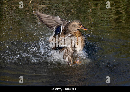 Female mallard duck washing and splashing water - Stock Image