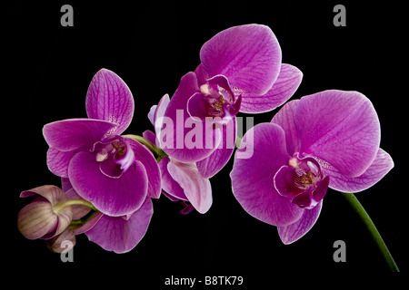 Purple Phalaenopsis Orchid Blossoms - Stock Image