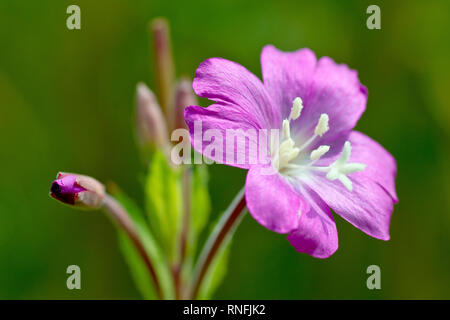 Great Willowherb (epilobium hirsutum), also known as Codlins and Cream, a close up of a single flower and bud with low depth of field. - Stock Image