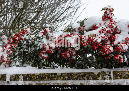 Red Pyracantha berries with a good covering of snow along the top of a wall - Stock Image