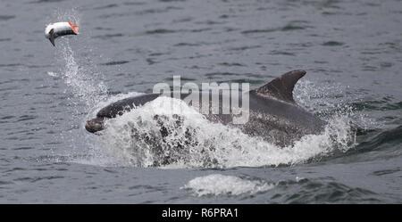 Bottlenose dolphin hunting Atlantic salmon in Scottish waters - Stock Image