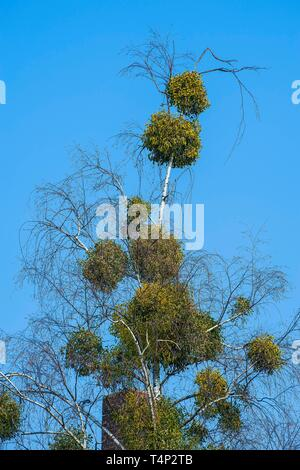 Many mistletoes (Viscum) on a birch, Munich, Upper Bavaria, Bavaria, Germany - Stock Image