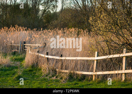 The warm evening sun hits reed beds at Wicken Fen Nature Reserve in Cambridgeshire, East Anglia, England, UK. - Stock Image