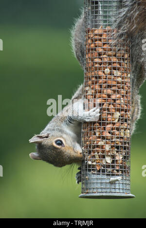 A grey squirrel, Sciurus carolinensis, adult feeding on peanuts in a mesh cover bird feeder, Berkshire, June - Stock Image