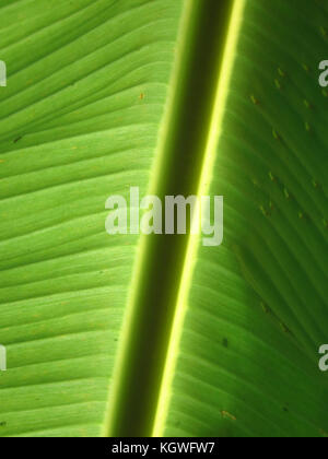 A beautiful background of a banana leaf lit in the sunlight. - Stock Image