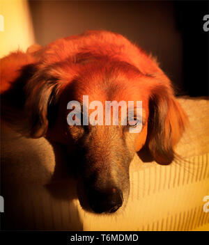 Lazy dog of indeterminate breed (Red Setter Cross) lying in the setting sun, Frigiliana, Costa del Sol, Andalucia, Spain - Stock Image