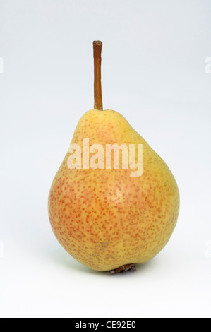 Common Pear, European Pear (Pyrus communis), variety: Augustbirne. Ripe fruit, studio picture against a white background. - Stock Image