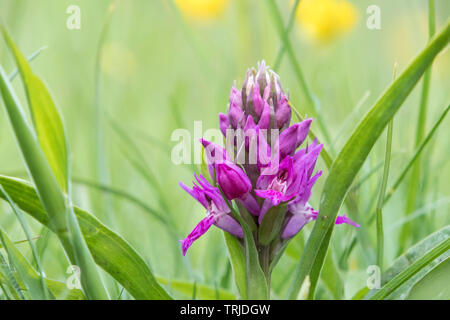 Early Purple Orchid (Orchis mascula), Teesdale, County Durham, UK - Stock Image