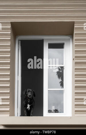 Dog looking out from city apartment window. - Stock Image