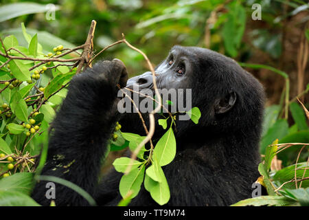 Mountain Gorilla (Gorilla beringei beringei) Feeding on Berries. Bwindi Impenetrable National Park, Uganda - Stock Image