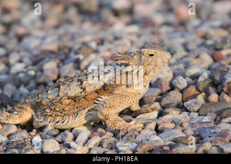 A regal horned lizard in the Sonoran Desert of Arizona, USA. - Stock Image