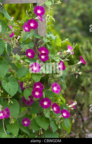 Morning Glory (Ipomoea tricolor). Flowering plant on a fence. - Stock Image