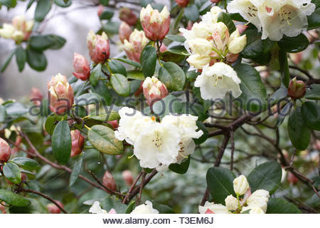 Rhododendron 'Rothenburg' flowers. - Stock Image