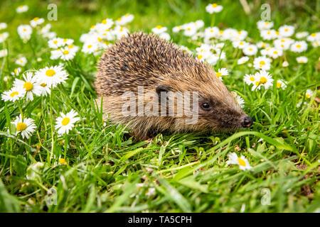 Hedgehog, (Scientific name: Erinaceus Europaeus) wild,native,European hedgehog in natural garden habitat with green grass and white daisies. Landscape - Stock Image