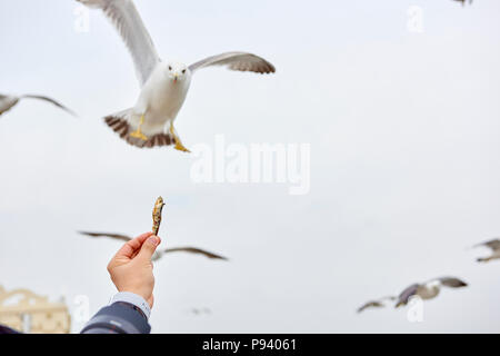 Detail of a person's hand holding a piece of dried fish to feed seagulls, flying in the background. - Stock Image