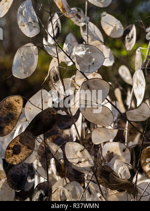 Seed pods of the annual honesty, Lunaria annua, provide autumn and winter decoration - Stock Image