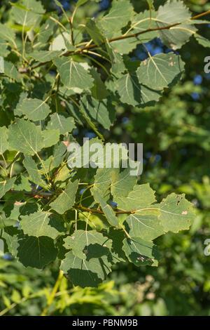 Foliage of Aspen [Populus tremula}. - Stock Image