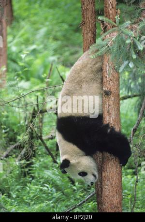 Giant panda sliding head first down tree, Wolong, China, June - Stock Image