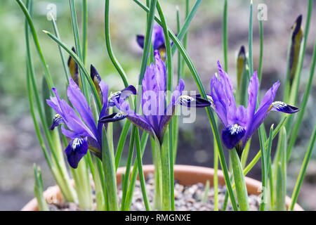 Iris reticulta 'Fabiola' flowers growing in a teracotta pot. - Stock Image