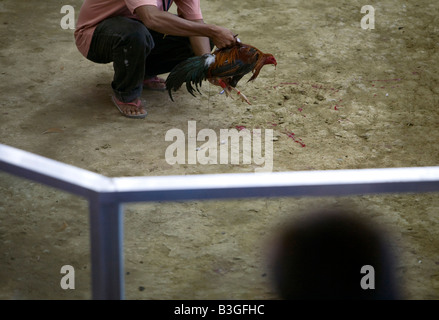 A Filipino collects a mortally-wounded fighting cock during a cockfight near Mansalay, Oriental Mindoro, Philippines. - Stock Image