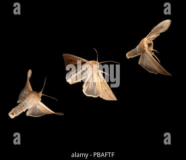 Armyworm moth (Mythimna unipuncta) composite image Bastrop County, Texas, USA. Controlled conditions. March - Stock Image