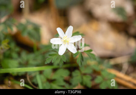 Close up of the white flower of the Anemone nemorosa (wood anemone) during spring in Southern England, UK - Stock Image