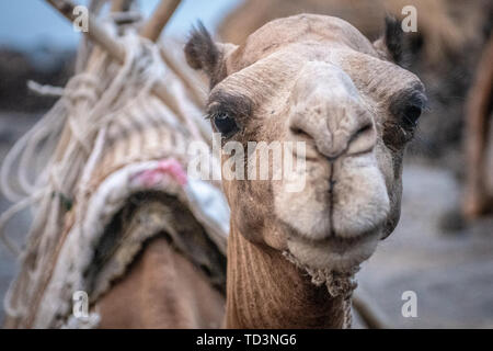 A camel for transporting supplies to camps at Erta Ale Volcano, a continuously active basaltic shield volcano and lava lake in the Afar Region of Ethi - Stock Image