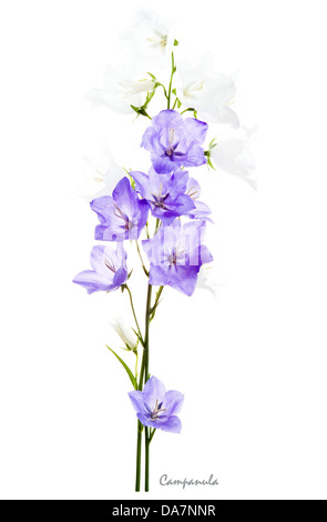 Campanula white and blue flowers on white background July England UK Europe - Stock Image