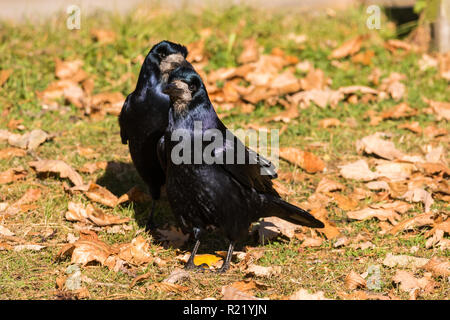 Two Rooks (Corvus frugilegus) standing on the grass surrounded by fallen autumn leaves - Stock Image