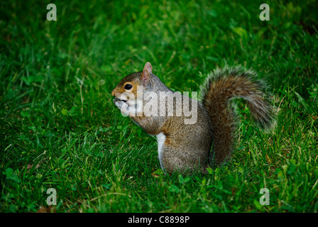 Squirrel at work. - Stock Image