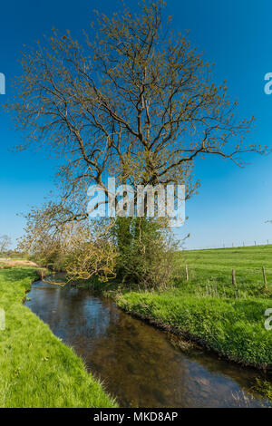 A mature Ash tree coming into leaf beside a stream against a clear blue sky background - Stock Image