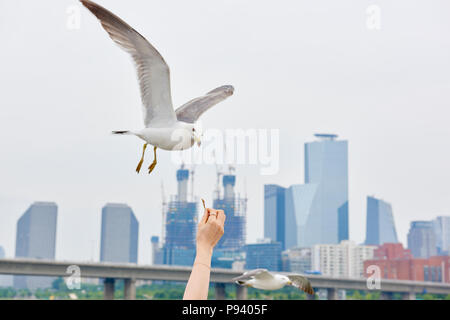 Seagulls being fed with buildings in the background in Seoul, South Korea. - Stock Image