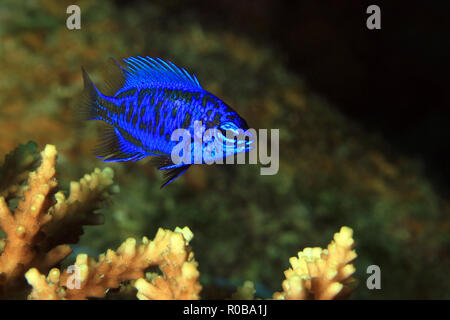 Springer's Damsel (Chrysiptera springeri) on a Coral. Moalboal, Philippines - Stock Image