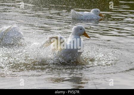 American Pekin Duck (anas platyrhynchos domesticus) splashing around on a country park lake - Stock Image