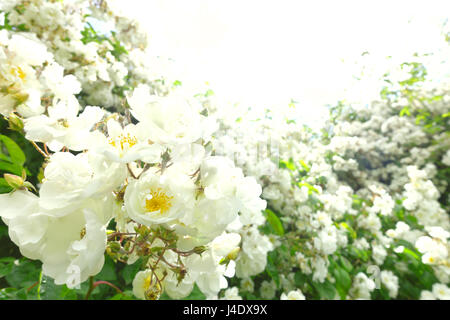 Lots of flower heads of a white rambler rose on a sunny summer day in back light and soft focus, text or copy space, - Stock Image