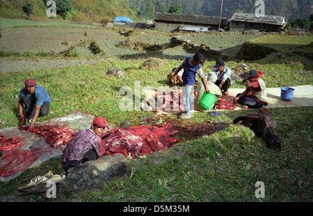 Men butchering a slaughterd Yak for meat in an open field near Sinuwa on Annapurna circuit Nepal Himalayas - Stock Image
